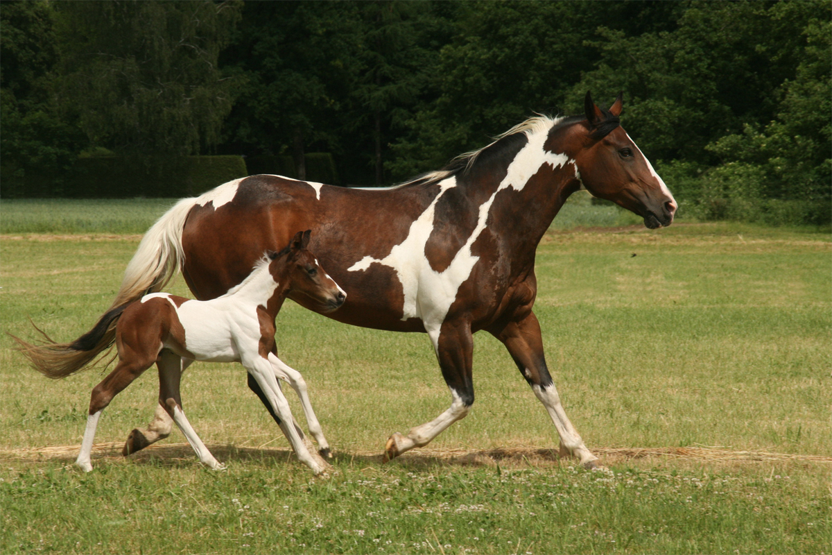 Pictures Of Indian Painted Horses