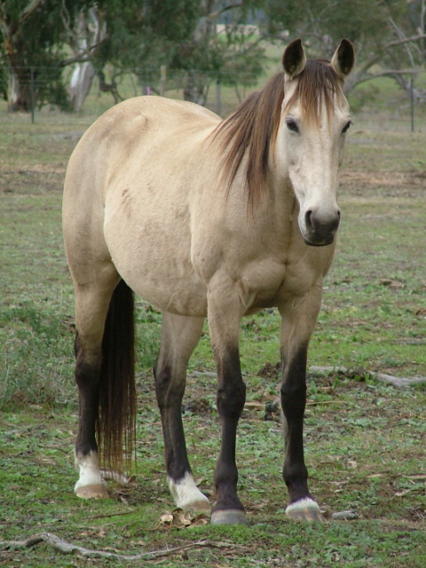 australian stock horse info  origin  history  pictures