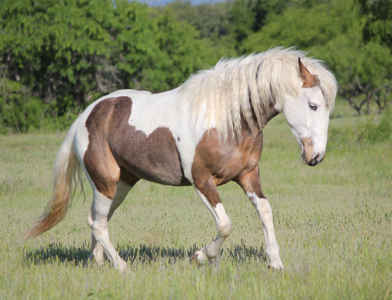 Curly Horse Info Origin History Pictures Horse Breeds