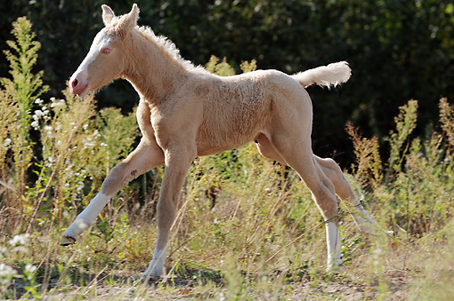 Curly Horse Info Origin History Pictures