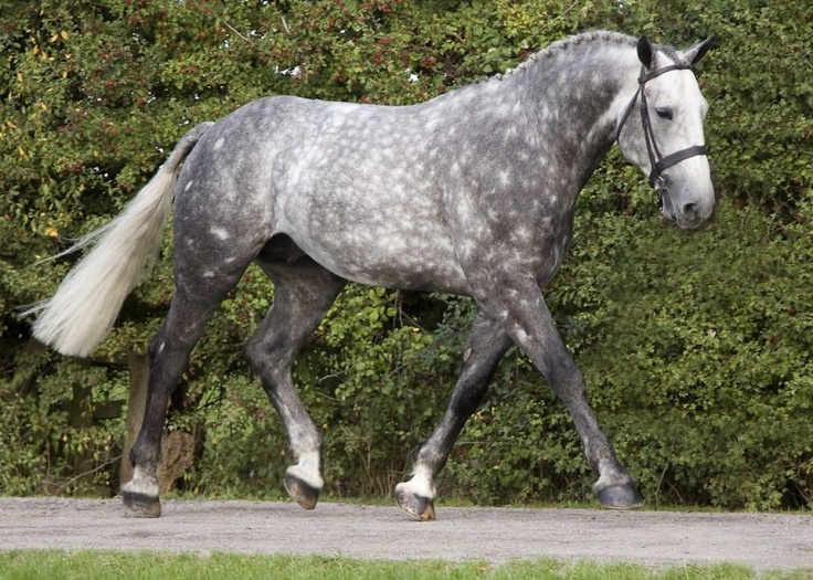 Irish-Sport-Horse-Dapple-Grey.jpg