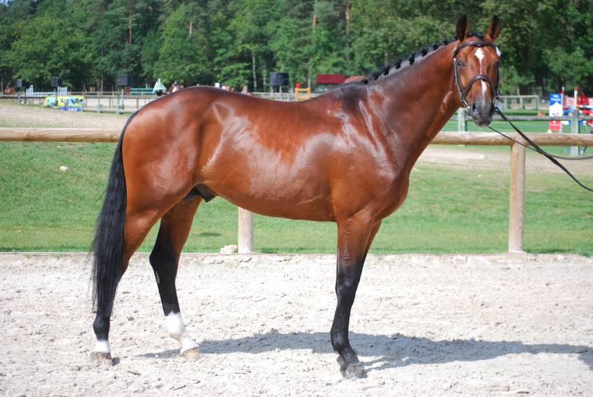 Selle Francais Horse Info, Origin, History, Pictures