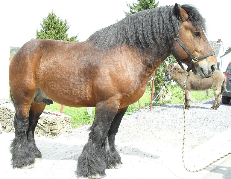 Belgian Draft Horse Info, Origin, History, Pictures