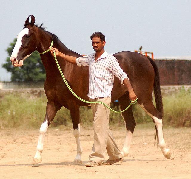 Kathiawari Horse Info, Origin, History, Pictures | Horse ... | 640 x 601 jpeg 138kB