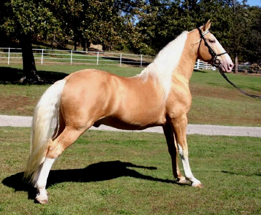 Tennessee Walking Horse Breed Information, History, Videos ...
