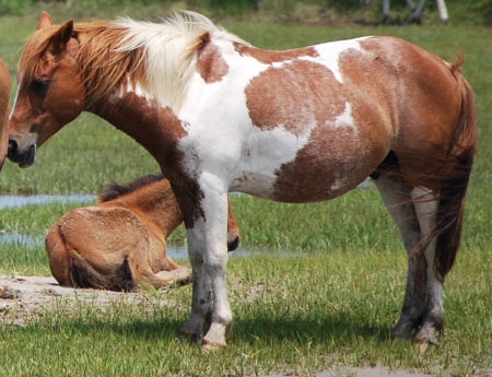 Image result for pinto chincoteague pony