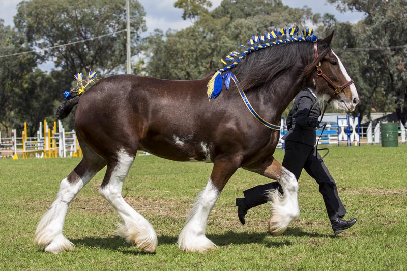 Shire Horse Breed Information History Videos Pictures