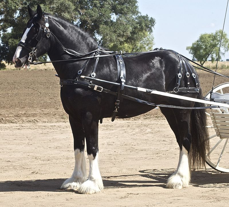 Shire Horse Breed Information, History, Videos, Pictures