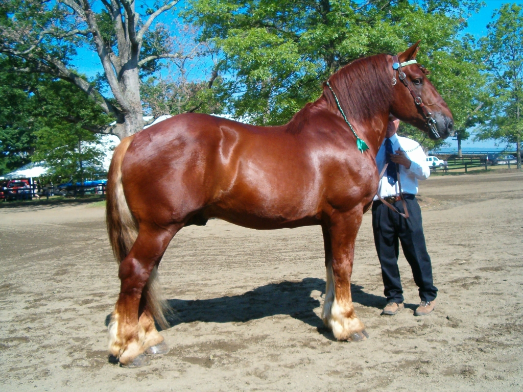 Suffolk Punch Horse Breed Information History Videos Pictures