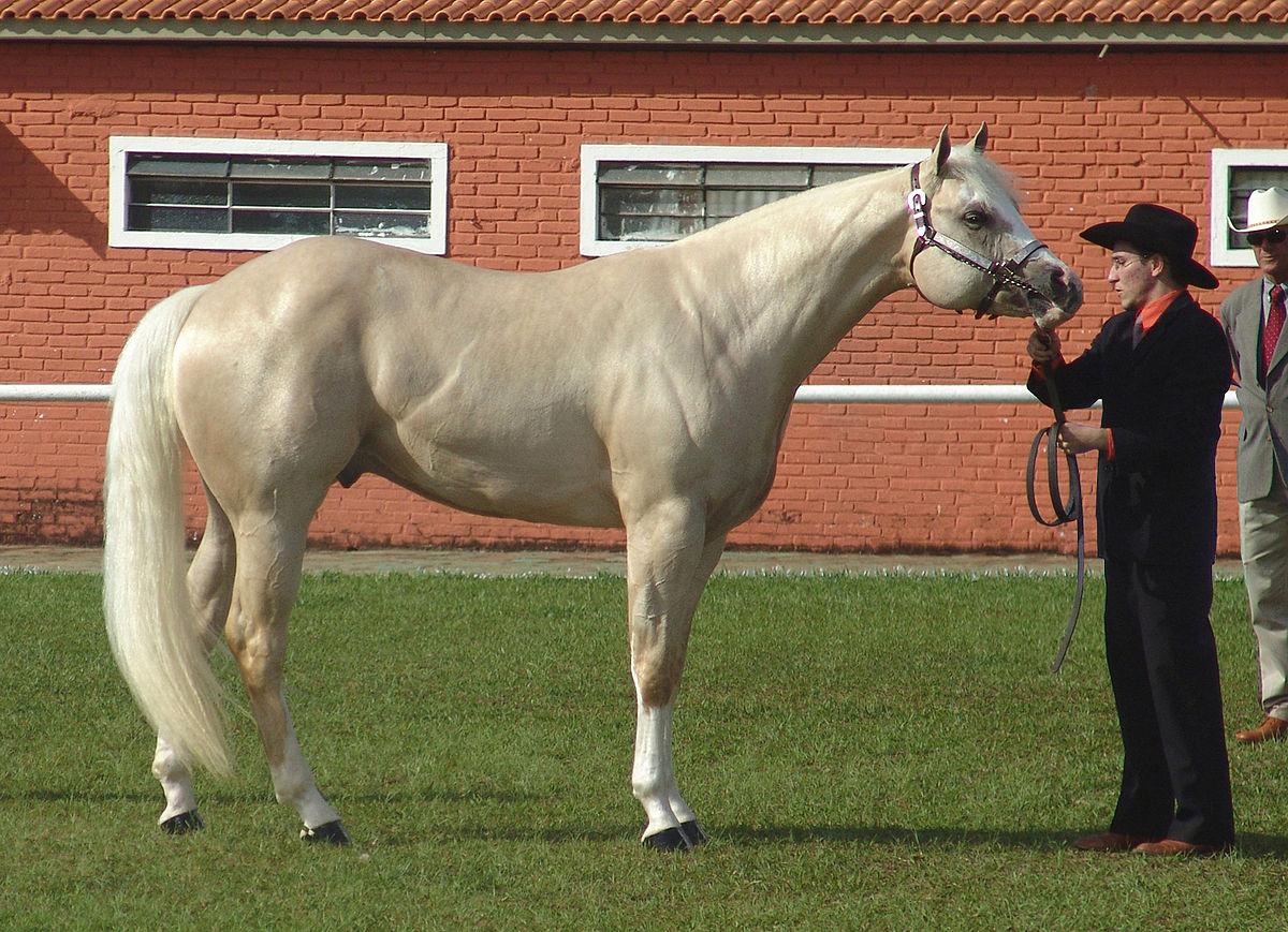 appendix quarter horse breed information  history  videos