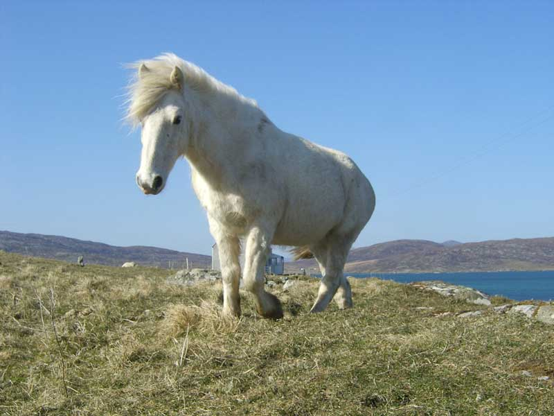 Image result for Eriskay horse""