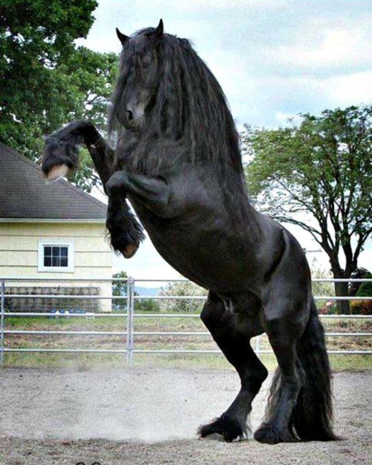 Friesian Horse Breed Information, History, Videos, Pictures736 x 920 jpeg 129kB