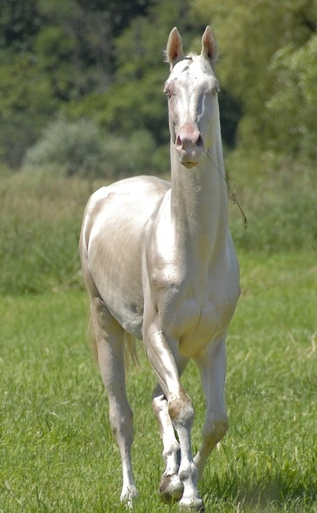 Akhal Teke Horse Info Colors Temperament History Pictures