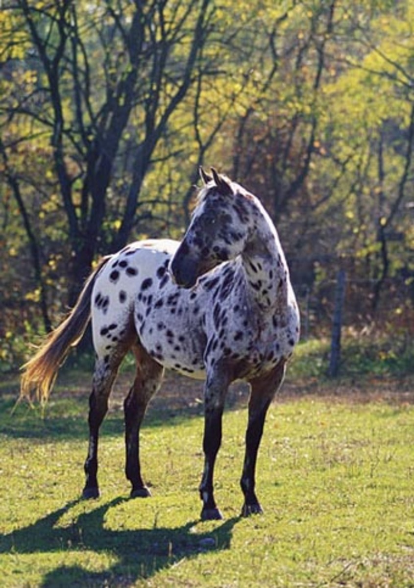 Appaloosa Horse Breed Information History Videos Pictures