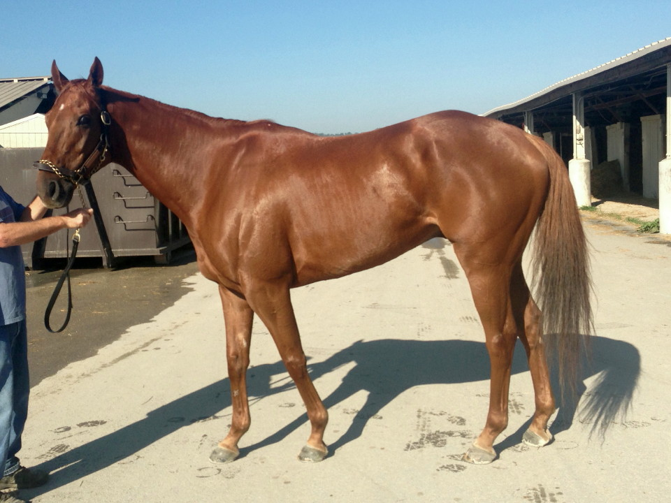 Thoroughbred Horse Breed Information History Videos Pictures