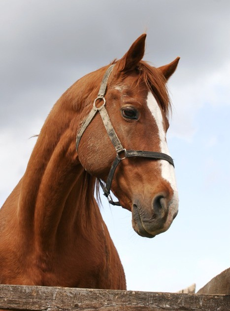 Thoroughbred Horse Bre...