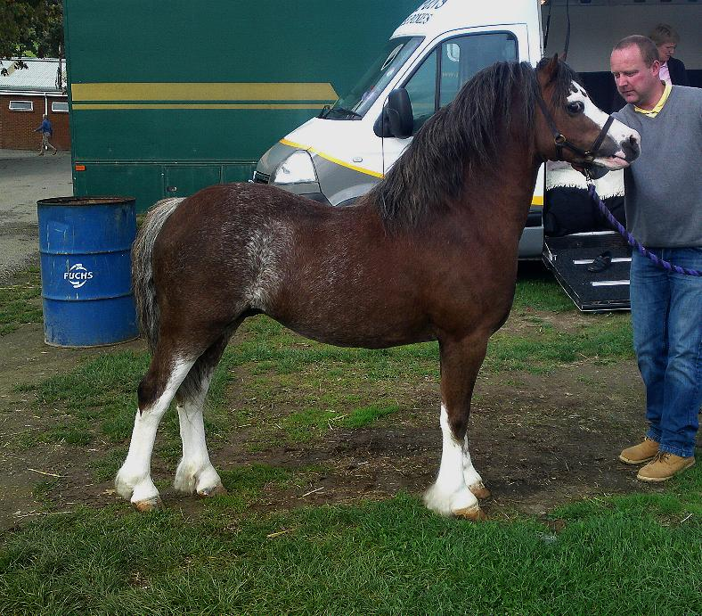 Welsh Mountain Pony Breed Information, History, Videos ...