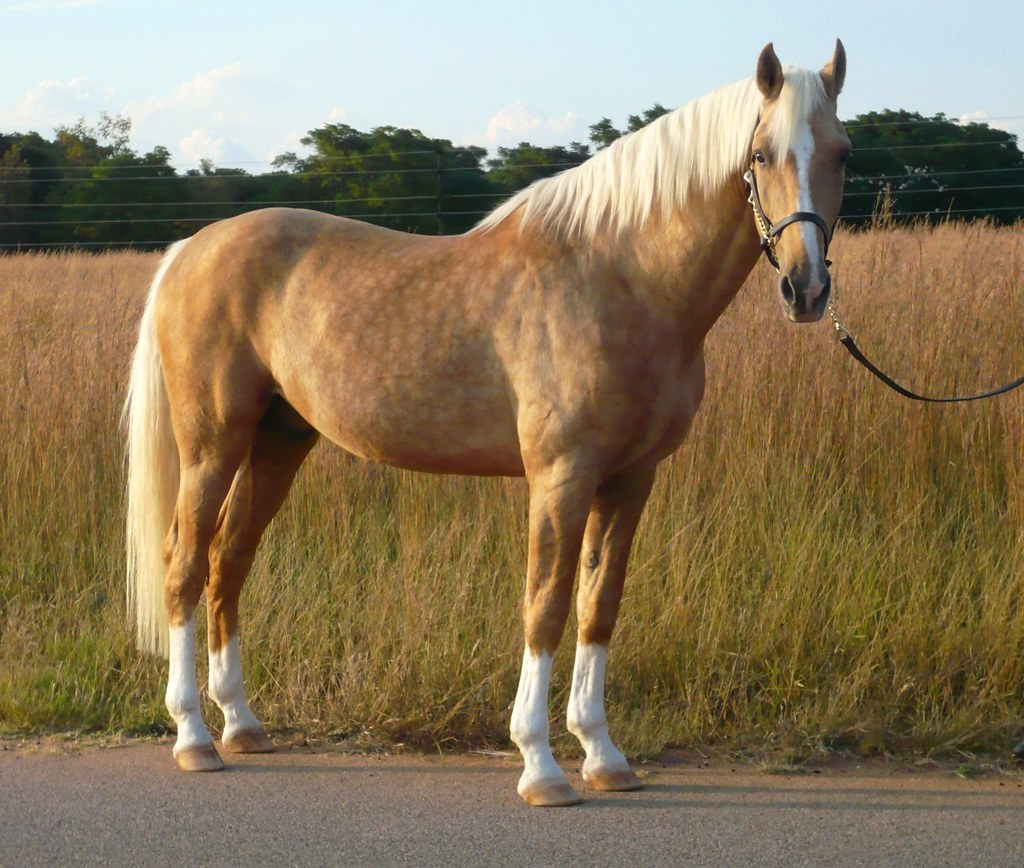 Palomino Horse Facts With Pictures Horsebreedspictures Com