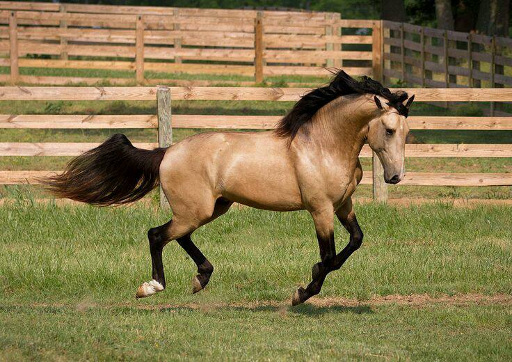 Buckskin Horse Facts with Pictures   HorseBreedsPictures.com