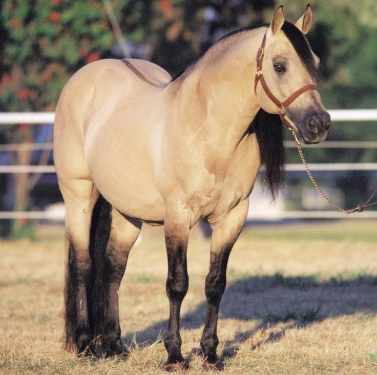 Dun Horse Facts With Pictures