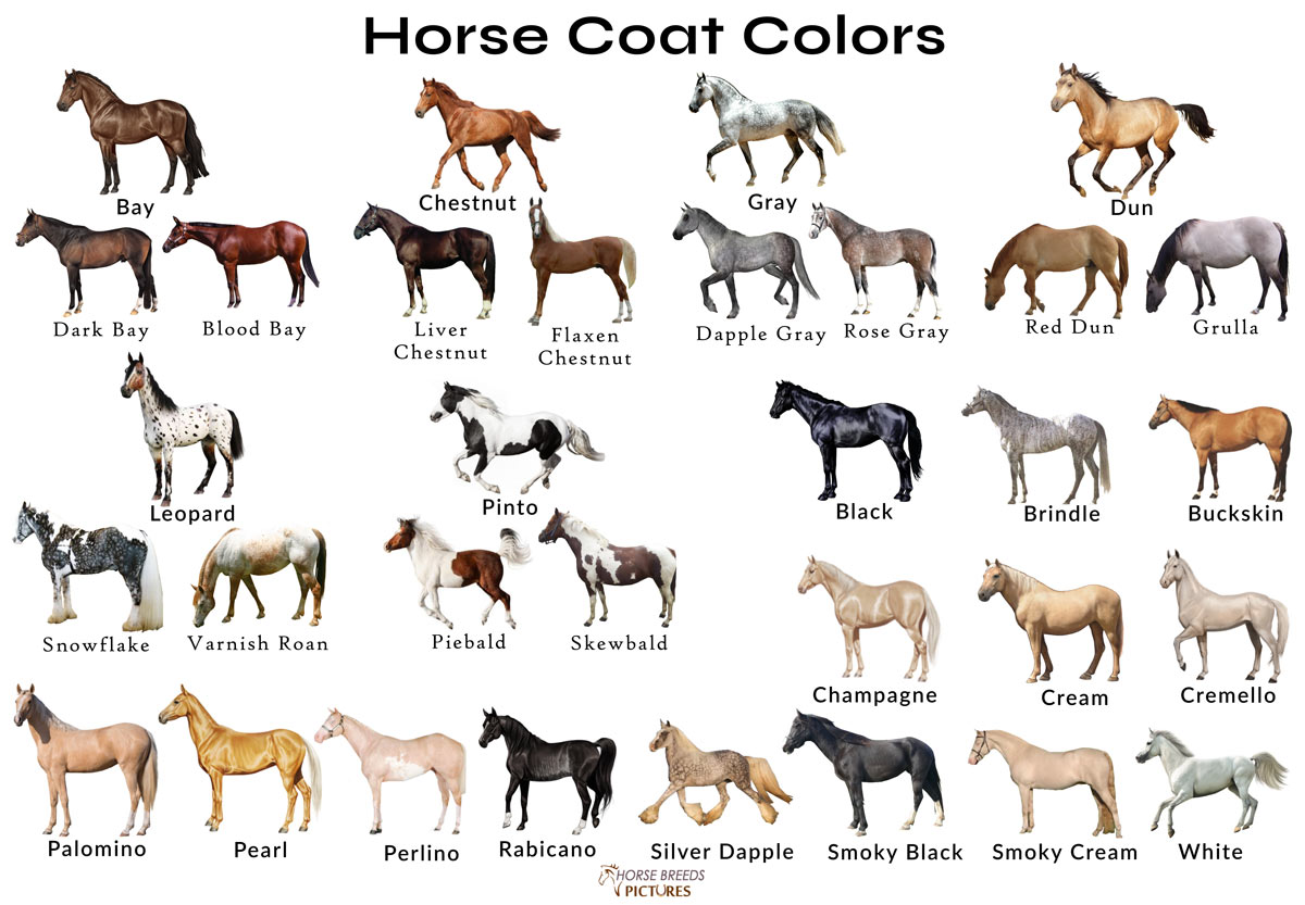 Different Horse Colors With Pictures Horsebreedspictures Com